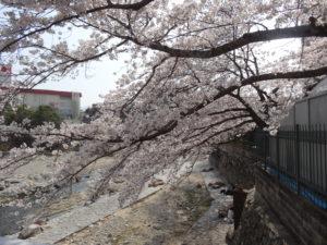 如来会館前の橋のたもとに咲く桜