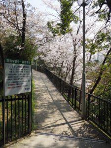 清教学園の通学路の桜
