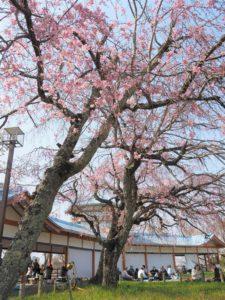 長野公園の枝垂れ桜