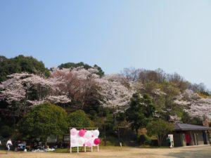 長野公園の桜