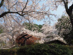 長野公園の🌸
