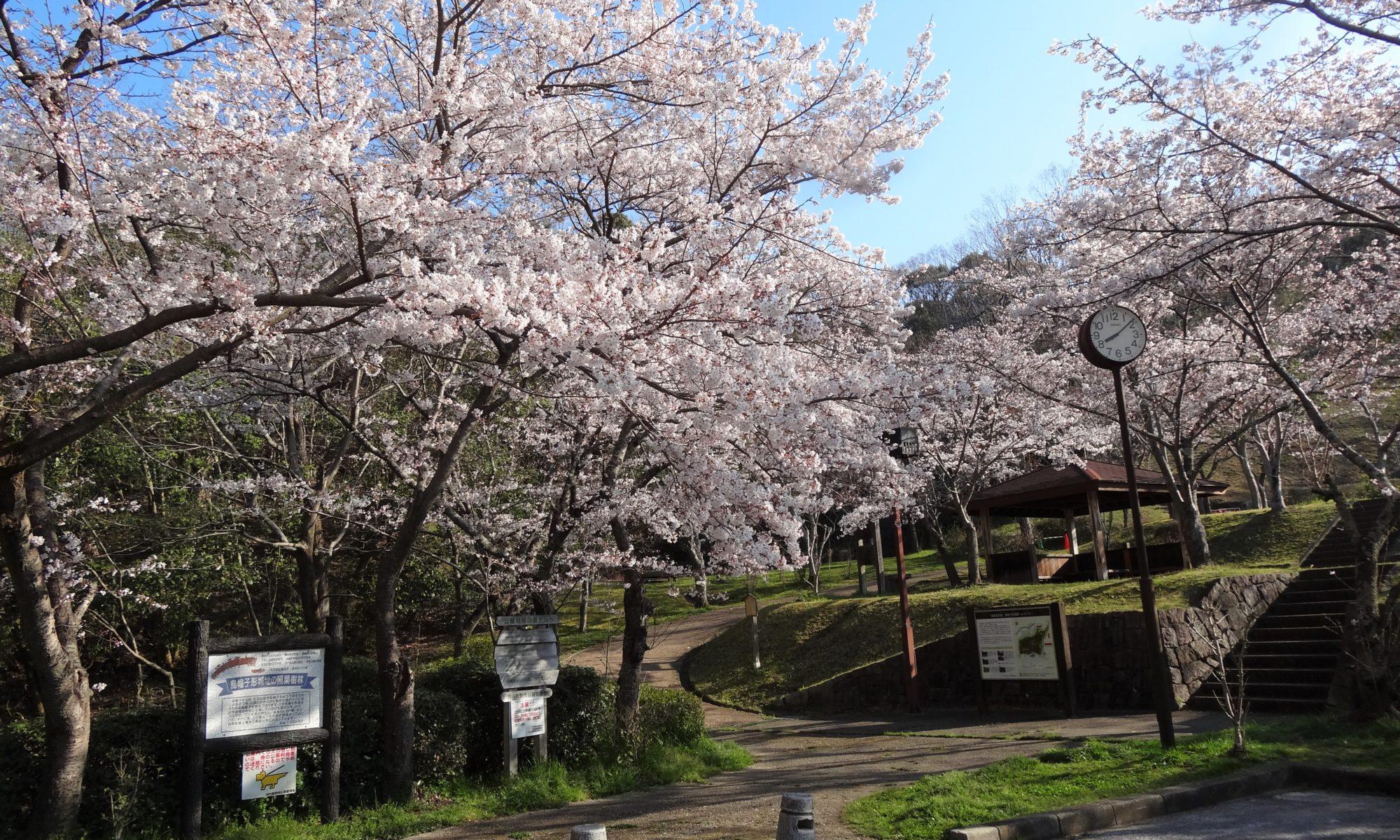 烏帽子形公園の桜が満開