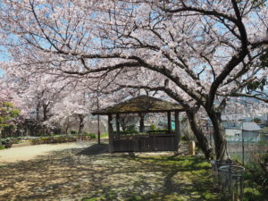 楠ケ丘公園の桜