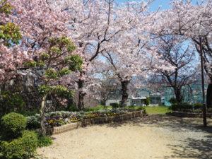 楠ケ丘公園、満開の桜