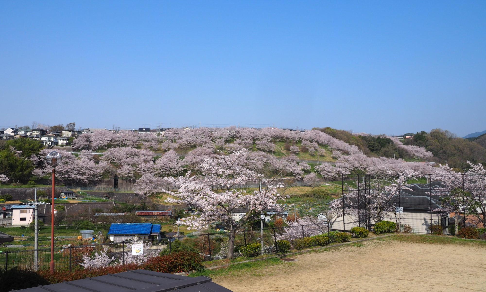 中片添第2公園から見る清見台の桜