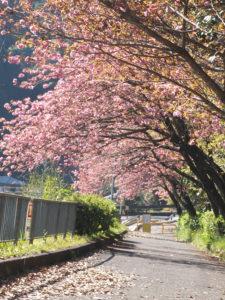 天見の八重桜